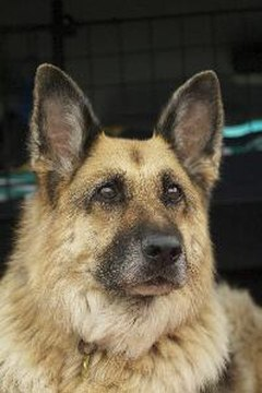 Large-chested breeds like German shepherds are more likely to develop splenic torsion.