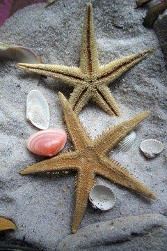 Starfish fragmentation asexual reproduction