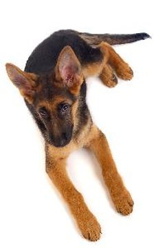German shepherd puppies are the most likely to have carpus malformations.