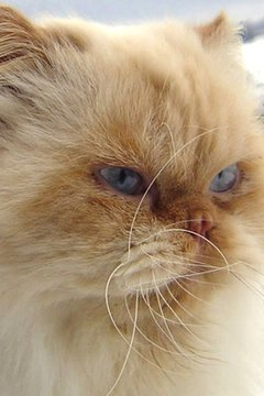 The cream point Himalayan Persian cat has a creamy white body with buff-cream points.