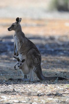 Australian Kangaroo With Joey In Pouch Image By PoveyCam From Fotolia