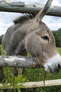 whats a burro