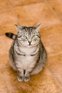 Cats can ruin floors with a urine accident.