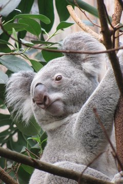 731a727c0c0a Koala image by HeikeKl from Fotolia.com. According to the Australian  Department of ...