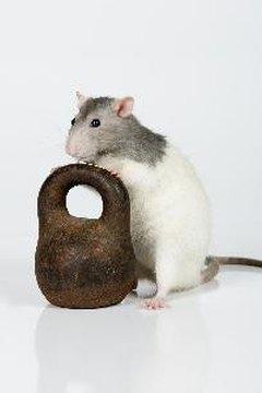 Rats anus swollen
