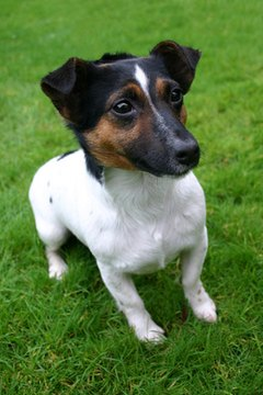 A jug puppy is more likely to have the Jack Russell body than the pug build.