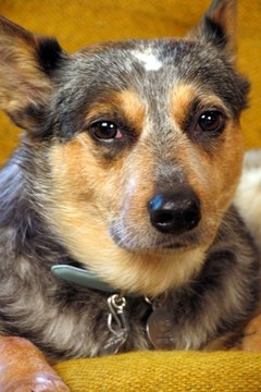 Cattle dogs can live peacefully in the city.