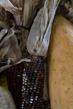 Many Native American harvest festivals center around corn.
