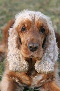 Spaniels should have their ears cleaned at least two times a week.