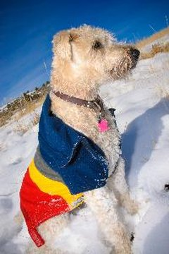 Underneath this stylish accessory is my lovely wheaten coat.
