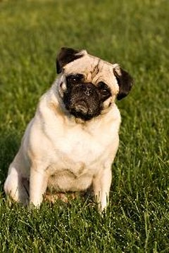 A seizure might not always be caused by pug dog encephalitis.