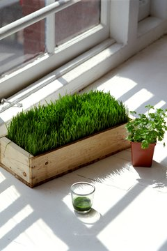 Wheatgrass powder is more nutrient-dense than liquid.