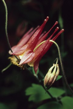 A blooming columbine blossom