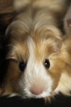 Puffy Cheeks in a Guinea Pig | Animals - mom me