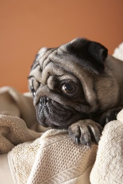 Low blood sugar can cause your pug's energy level to sag or his body to tremble.