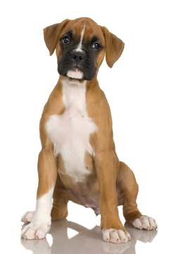 Rub your boxer pup with a chamois cloth to enhance her coat's shine.