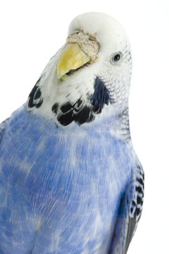 The budgie's cere is the bare, waxy-looking area above the bill, surrounding the nostrils.