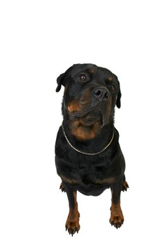 Rottweilers tend to have low-maintenance coats.