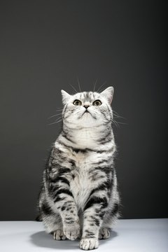 European shorthairs are also called British shorthairs.