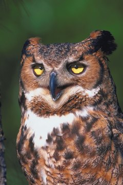 An owl is a nocturnal bird of prey.