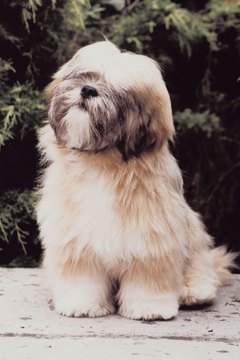 Trim your Lhasa apso's coat for easier care.