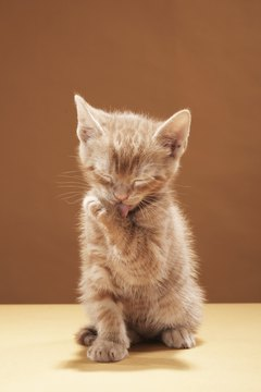 If your kitten has lice, speedy treatment can ensure a fast recovery.