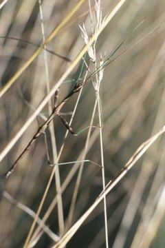 The Walking Stick Bug and Its Significance to the