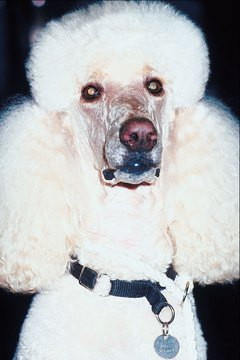 Keep your poodle's snout and eye area trimmed short to make tear stains easier to treat.
