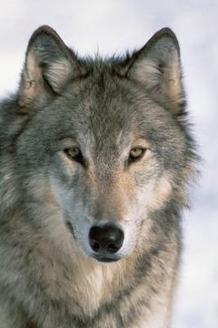 Are Wolves Dangerous To People Animals Mom Me