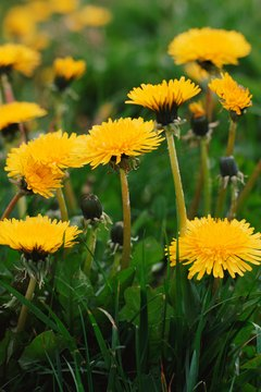 Dandelions have long taproots but can be eradicated with multiple applications of organic herbicide.