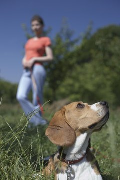 A beagle's strong hunting instinct causes him to howl frequently.