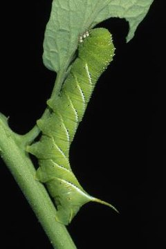 Types Of Caterpillars In Maine Animals Momme