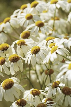 Chamomile flowers look like daisies.