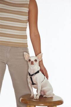 With proper training, Chihuahuas can be calm, well-behaved dogs.