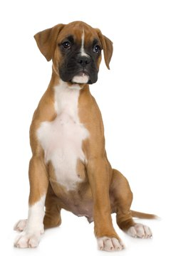 A boxer can learn to bark on command.