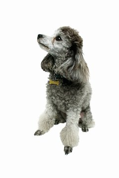 Examine your poodle regularly for any signs of skin problems.