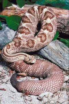 Opinion, rattlesnakes babies and adults differences amusing piece