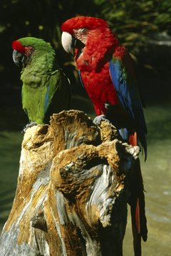 Macaws exhibit some of the showiest feathers.