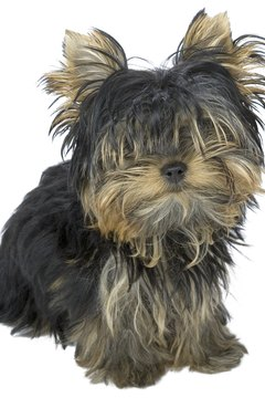 Yorkie puppies have fast-growing hair.