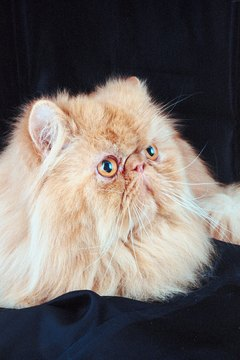The flat-faced Persian is more susceptible to wheezing than most cats are.