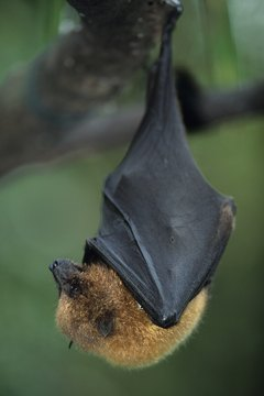 Bats are nocturnal, flying mammals.