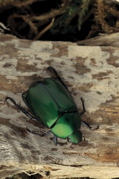 Amulets in the shape of the scarab were often made to resemble its real-life blue-green color.