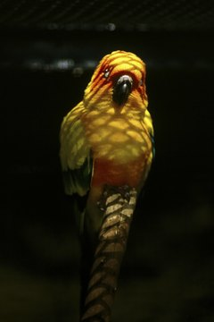 The sun conure: No question how it got its name.