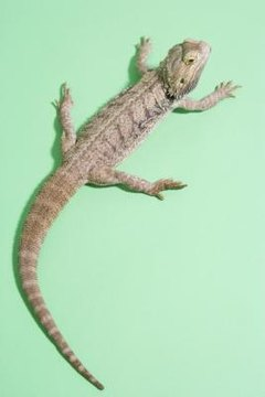 How Long Before Bearded Dragons Are Fully Grown? | Animals - mom me