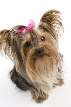 Praise your Yorkie for good behavior.