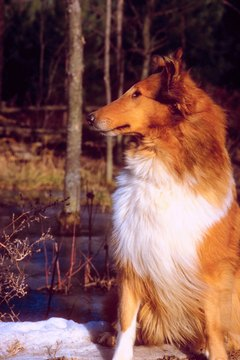 Lassie never had a bad hair day.