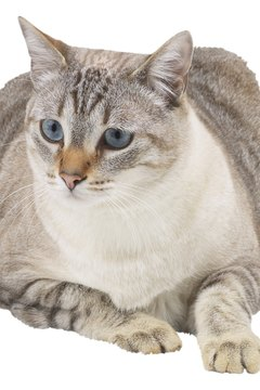 Diabetes is especially common in older cats.