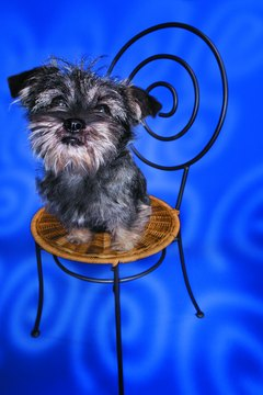 If your schnauzer isn't a social butterfly, you can help him overcome his shyness.