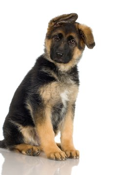This German shepherd puppy's longer legs put her age at around 12 weeks.