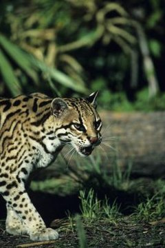 are ocelots an endangered species animals mom me